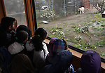 Students from Rita Cannon Elementary School watch Khan, a Bengal tiger, at the Animal Ark in north Reno, Nev, on Tuesday, May 17, 2011. The Sierra Sage Men's Golf Club is hosting a golf tournament to raise funds to bring students from Title I schools around the region to the wildlife sanctuary. .Photo by Cathleen Allison