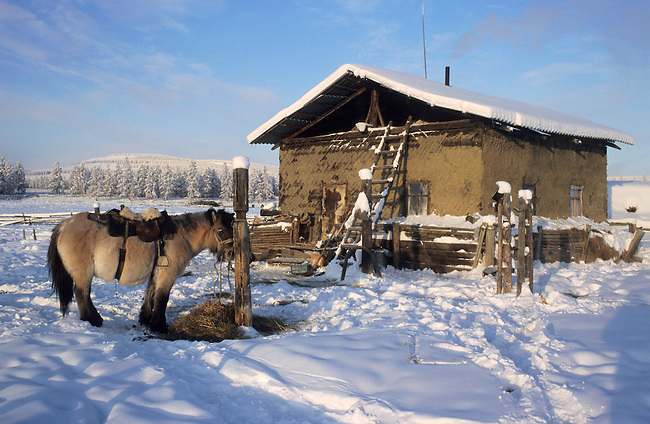 A harnessed Yakut horse tied up at a herders' camp. Verkhoyansk, Yakutia, Siberia, Russia.
