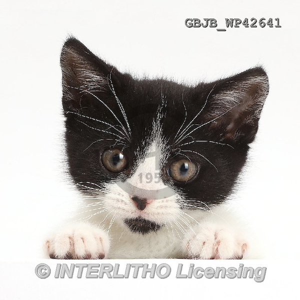 Kim, ANIMALS, REALISTISCHE TIERE, ANIMALES REALISTICOS, fondless, photos,+Black-and-white kitten, Loona, 11 weeks old, with paws over,++++,GBJBWP42641,#a#