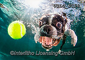 REALISTIC ANIMALS, REALISTISCHE TIERE, ANIMALES REALISTICOS, dogs, paintings+++++SethC_Rocco_320B9062rev5,USLGSC58,#A#, EVERYDAY ,underwater dogs,photos,fotos ,Seth