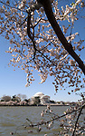 Washington, DC: Cherry Blossom Festival.  Cherry blossoms and Jefferson Memorial.  Photo #: washch107 (nef479)..Photo copyright Lee Foster, www.fostertravel.com, 510-549-2202, lee@fostertravel.com