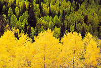 Aspen crowns, Colorado