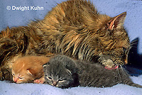SH31-009z  Cat - mother cleaning kittens