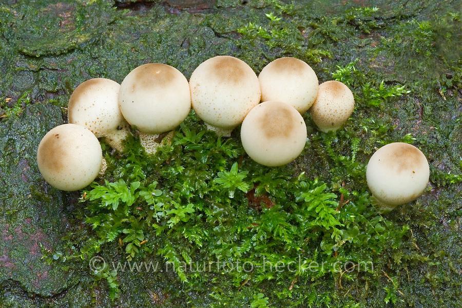 Birnen-Stäubling, Birnenstäubling, Stäubling, Stäublinge, Lycoperdon pyriforme, Morganella pyriformis, Pear-shaped puffball, Stump puffball