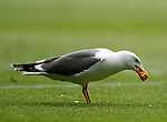 28.04.2019 Rangers v Aberdeen: Seagull swoops down to snack on pizza during the game