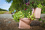 Flowers are planted in a toilet in the residential area of Talkeetna, Southcentral Alaska, Summer.