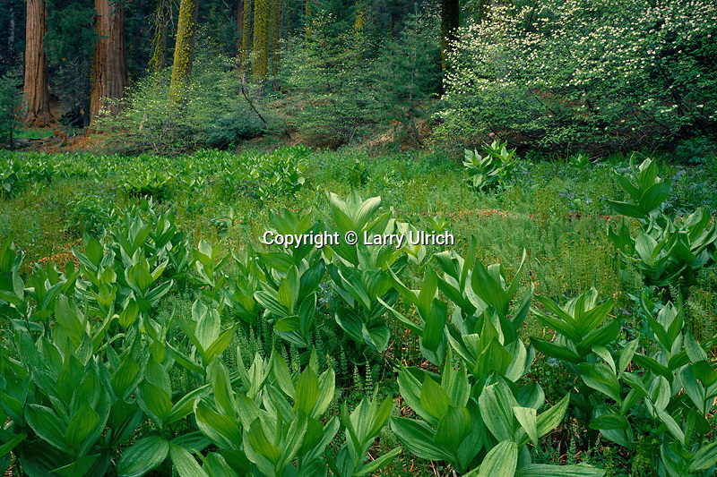 False hellebore and mountain dogwood<br />