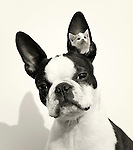 Boston terrier. Black and White.