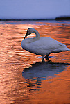 Trumpeter swan, Jackson Hole, Wyoming