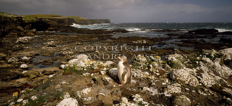 Yellow Eyed Penguin at Derry Reef. Enderby Island. Auckland Islands. New Zealand Sub Antarctic Islands.