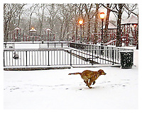 NEW YORK, NY -  Sophie in the snow at Carl Schurz Park's Hockey field in Yorkville, New York December 2013. Photo Credit: Thomas R Pryor