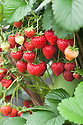 Strawberry 'Flamenco', a perpetual or everbearing variety with vibrant vermillion red glossy conical berries. Cropping runs from July until well into October.