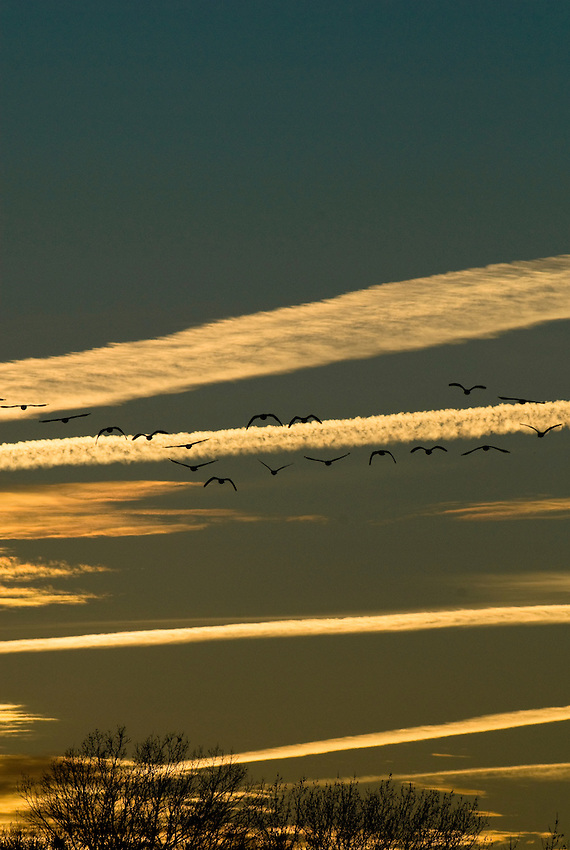 Geese in flight formation over Ocean Pines, Maryland.