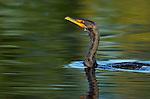 Cormorant Double-crested Cormorant Sepulveda Wildlife Refuge Southern California Close Portrait