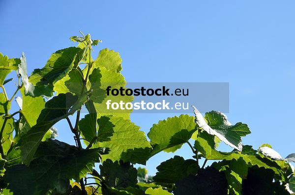 Weinlaub vor blauem Himmel