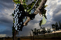 erath  160436 8/30/09-  Grapes grow on the vines of Todd Bostock's (CQ) Pronghorn Vineyard. He runs Dos Cabezas WineWorks (CQ) in Sonoita. (Pat Shannahan/ The Arizona Republic)