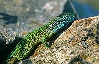 Smaragdeidechse, Smaragd-Eidechse, Östliche Smaragdeidechse, Männchen, Lacerta viridis, green lizard, emerald lizard, Griechenland