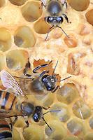 Nurse and wax bees around a royal cell.///Des abeilles nourricière et cirières autour d'une cellule royale.
