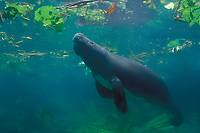 Amazonian manatee, Trichechus inunguis ( c ), showing the white ventral markings unique to this species of manatee, INPA/LMA, Amazonas, Brazil