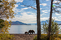 Brown bear sow and cub walk along the shore of Naknek lake, Katmai National Park, southwest, Alaska.