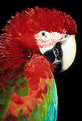 Itaparica, Bahia state, Brazil. Red and blue macaw (Ara macao).