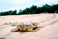 Australian flatback sea turtle, Natator depressus, returns to sea after nesting, N. Queensland, Australia