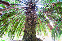 Woods Cycad, Encephalartos woodii at lotusland garden