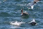 Dolphins, brown pelican and gulls