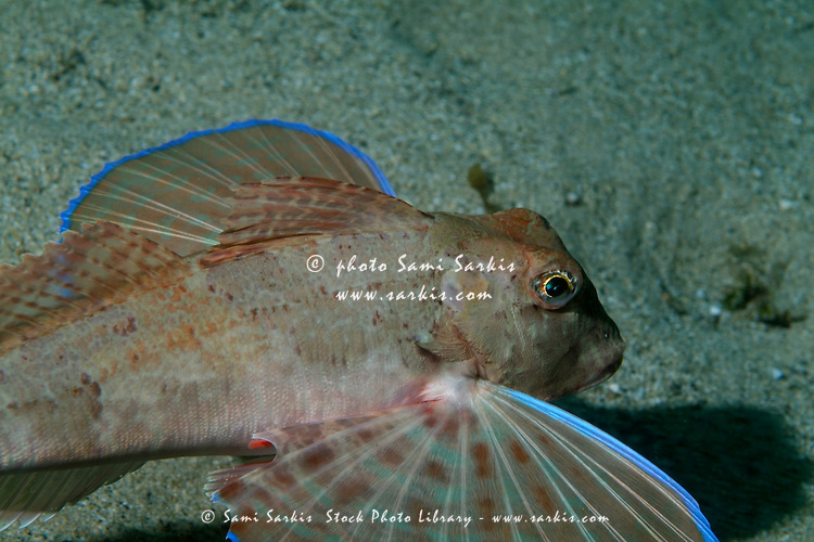 Tub Fish (Trigloporus lastoviza) swimming along the ocean floor, Callelongue Creek, Marseille, France.