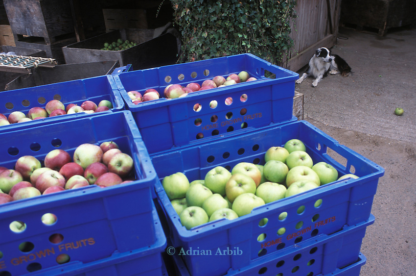Freshly picked apples piled high at Charlton Orchards in Somerset. Charlton are  one of the last independent apples orchards left in the UK.   They're growing about 25 varieties of English apple: one of the last diverse commercial orchards left in Britain.