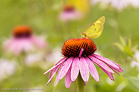 Orange Sulphur Butterfly on pink coneflower feeding, Colias eurytheme, Kentucky