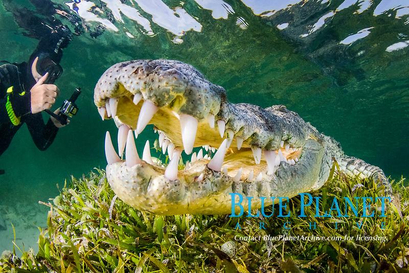 Diver phororaphing an American Crocodile, crocodilus acutus, at Banco Chinchorro Atoll, Quintana Roo, Southeastern Mexico. Caribbean Sea.