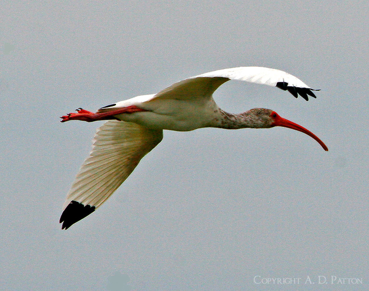 White ibis first-fall flying
