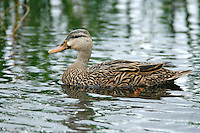 Mottled Duck - Anas fulvigula - female