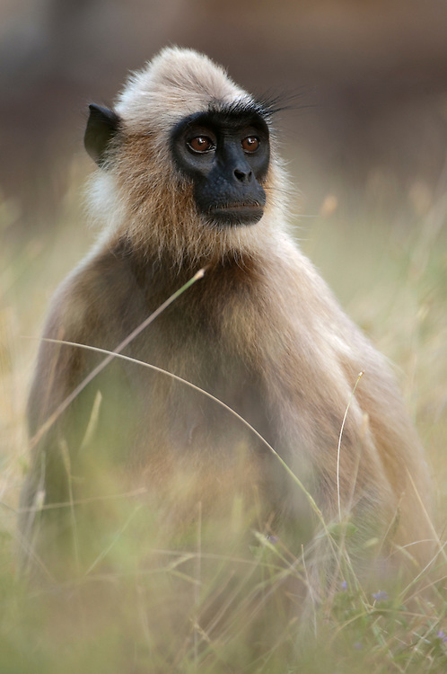 Grey or Hanuman langur in grass. Archaeological reserve, Polonnaruwa, Sri Lanka.