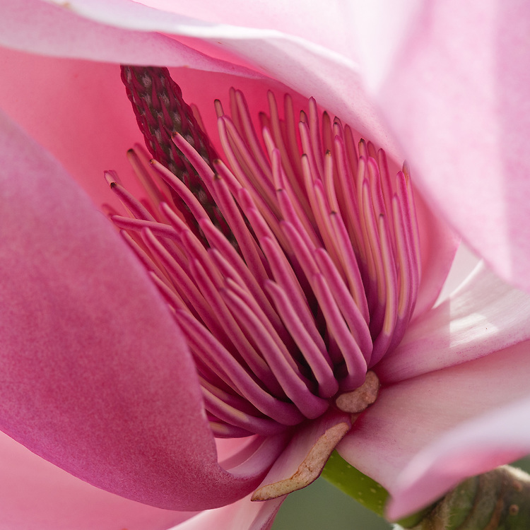 Magnolia sprengeri 'Wakehurst', late March.