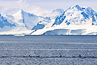 killer whale or orca, Orcinus orca, Type B orca, LeMaire Channel, Antarctic Peninsula, Antarctica, Southern Ocean