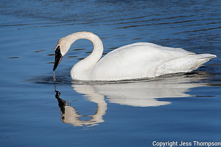 Trumpeter Swan, Hayden Valley, Yellowstone National Park, Wyoming