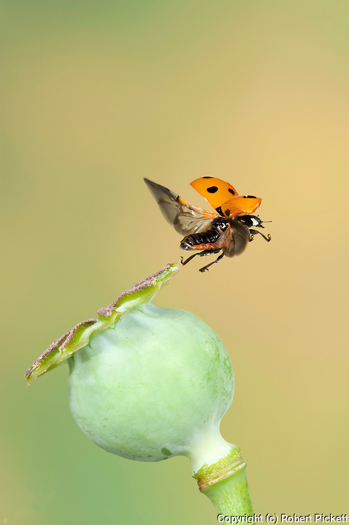 Seven Spot Ladybird, Coccinella 7 punctata, In flight, free flying, High Speed Photographic Technique.United Kingdom....