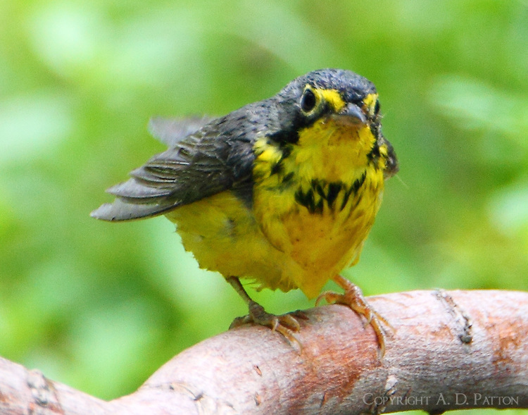 Male Canada warbler after bath