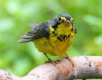 Male Canada warbler after bath