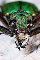 Feld-Sandlaufkäfer, Feldsandlaufkäfer, Sandlaufkäfer, Feldsandläufer, Cicindela campestris, green tiger beetle, Cicindelidae, tiger beetles