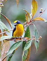 Male yellow-throated euphonia