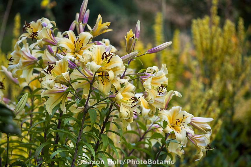 Lilium 'Catherine the Great' flowering in perennial border at Bellevue Botanical Garden, Washington
