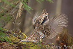Ruffed Grouse (Bonasa umbellus) male drumming on moss-covered log in early spring, New York, USA