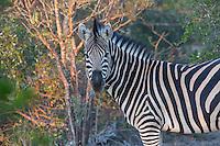 Zebra in Sabi Sands Private Game Reserve, South Africa
