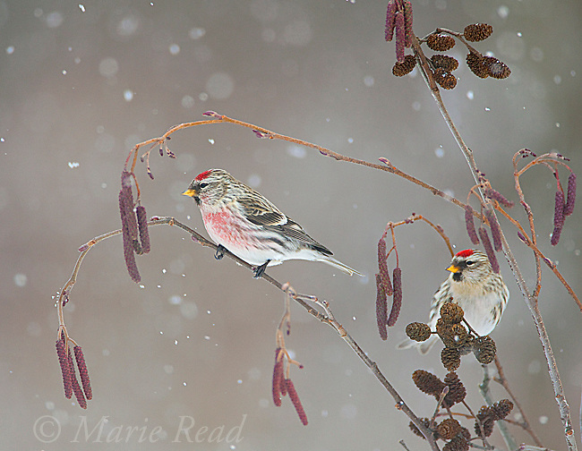 Common Redpoll (Carduelis flammea), male (L) and female (R)perched in alder (Alnus rugosa) during a snowstorm in winter, New York, USA