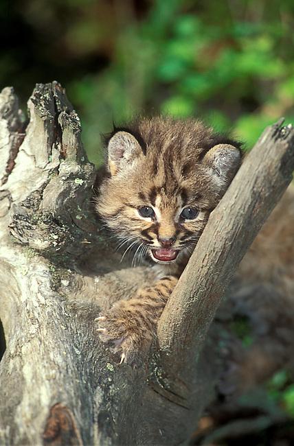 Bobcat Kitten  (Lynx rufus) 26 Days Old
