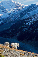 Mountain Goat billies (Oreamnos americanus).  Northern Rockies.  October.