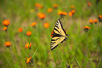 Papilio glaucus, the eastern tiger swallowtail on devil's paintbrush<br />